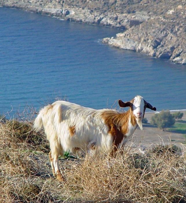 14 a Goat on Kea