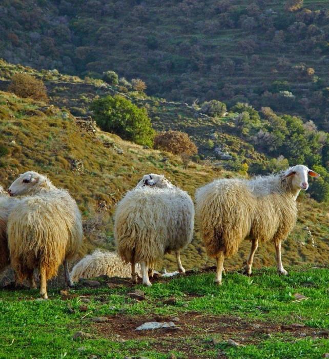 14 sheep Ellinika