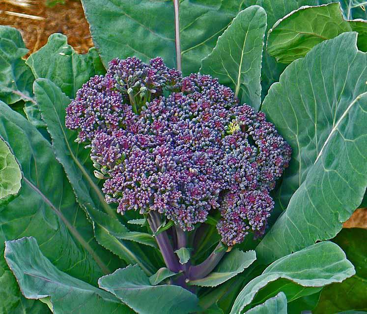 Broccoli purple S