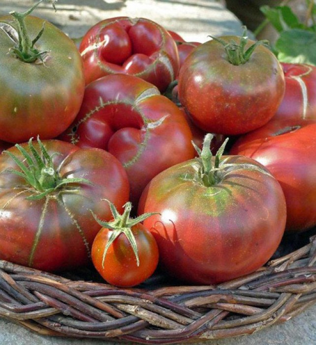We call our crop of heirloom tomatoes 'delightful freaks' because they are far from perfect-looking, but they are so incredibly sweet and delicious!