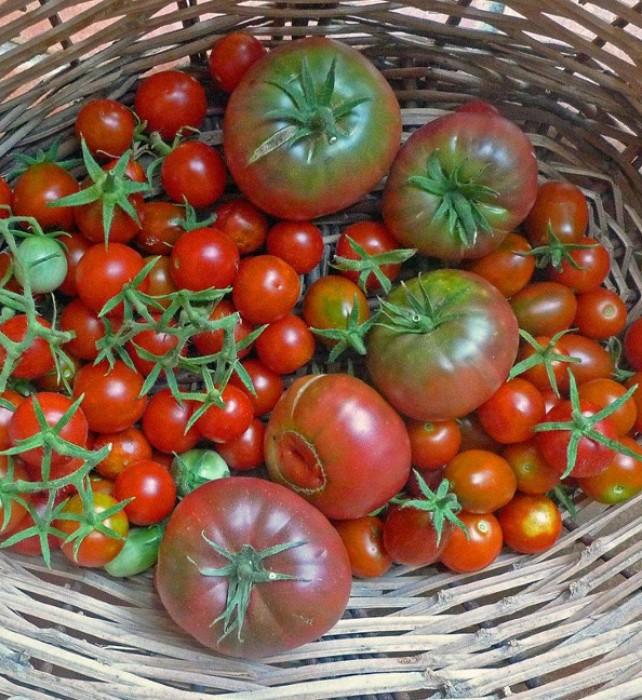 All in all, despite the pests, we managed to have a good crop of tomatoes this year. We hope some of the plants will continue to produce well into the fall…