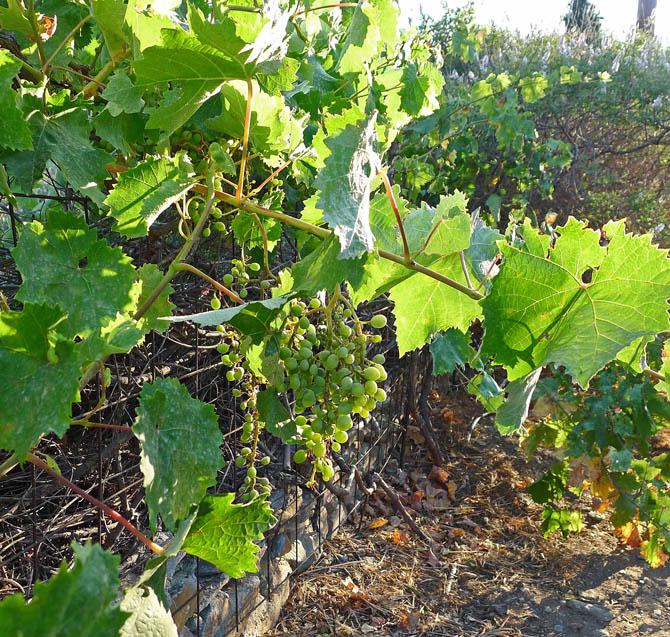 1_grapes_vine_small