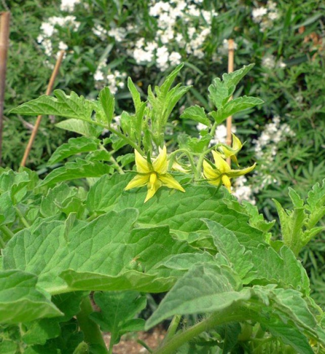 Our tomato plants usually start to blossom late May or early June.