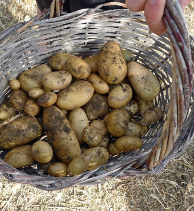 Our very first potato crop, almost a basketful.