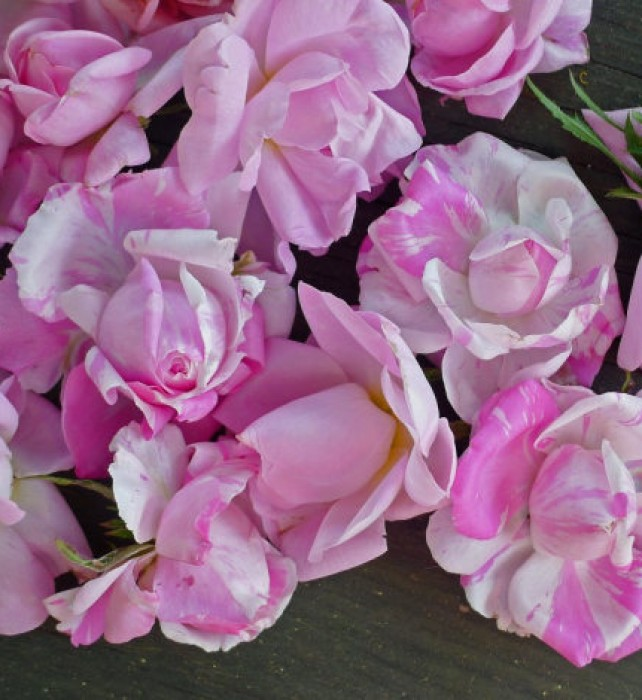 Another first: this year's fragrant antique roses.