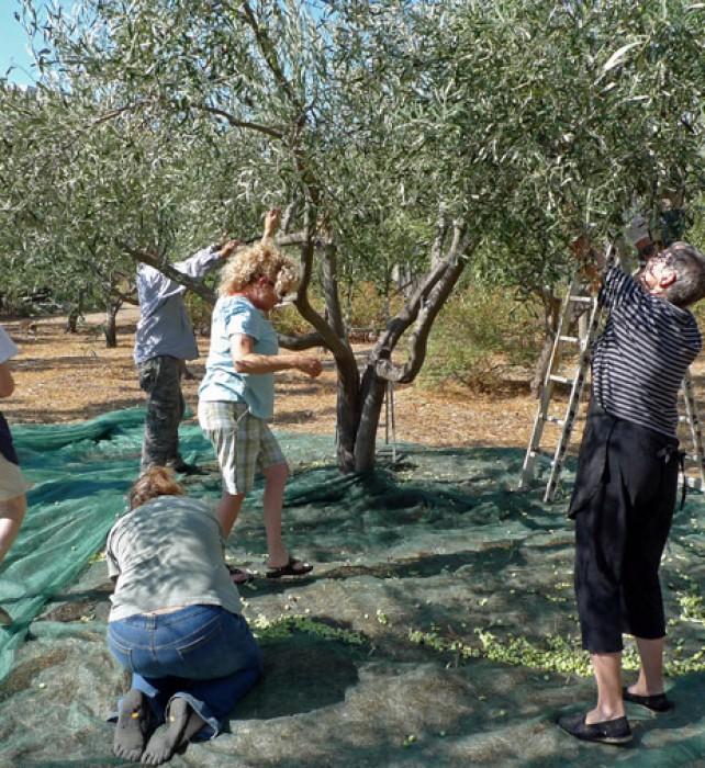 3-olive-harvest-team