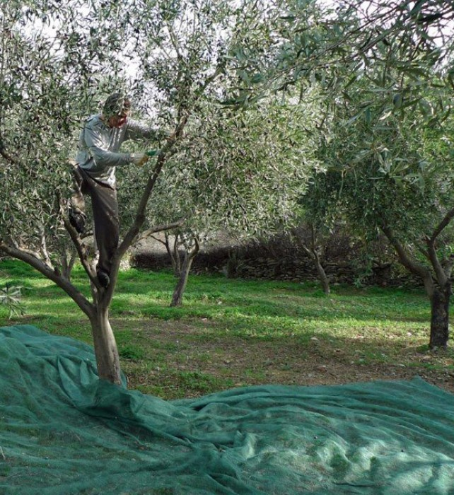 Costas prunes the trees after harvest.