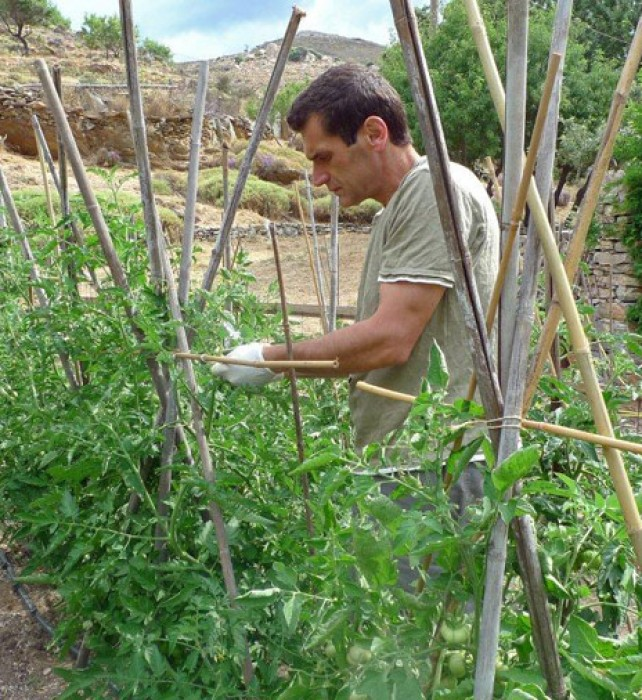 Costas ties the tomato shoots, expanding the frame of canes vertically or horizontally, as the plants grow.