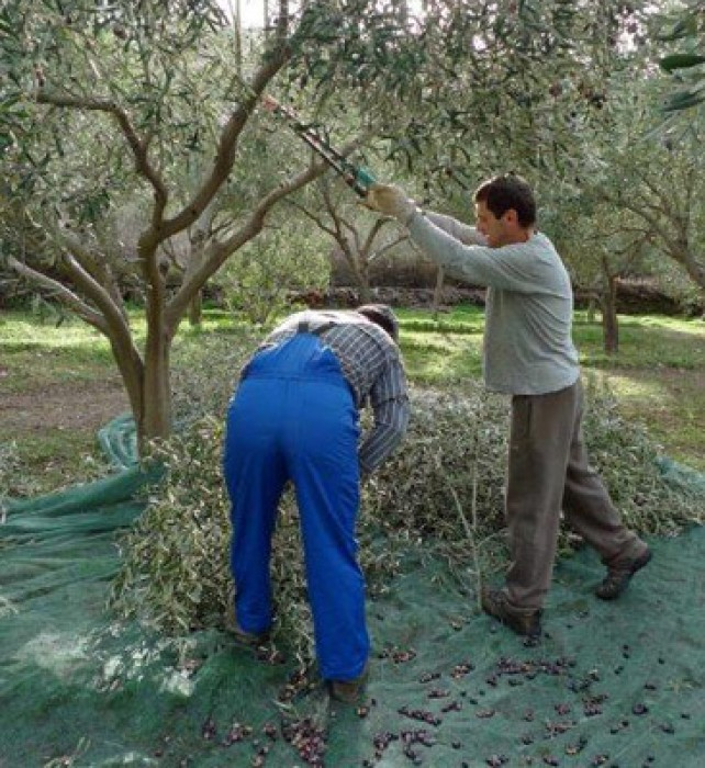 Pruning and harvesting the last olives.