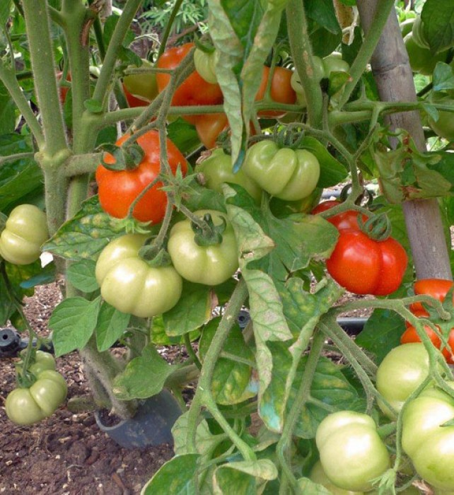 The local so-called 'Kea or Santorini variety' of tomatoes are the first to ripen.