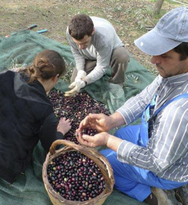 Ela, Costas and Stathi carefully pick over the olives discarding leaves and rotten fruit.