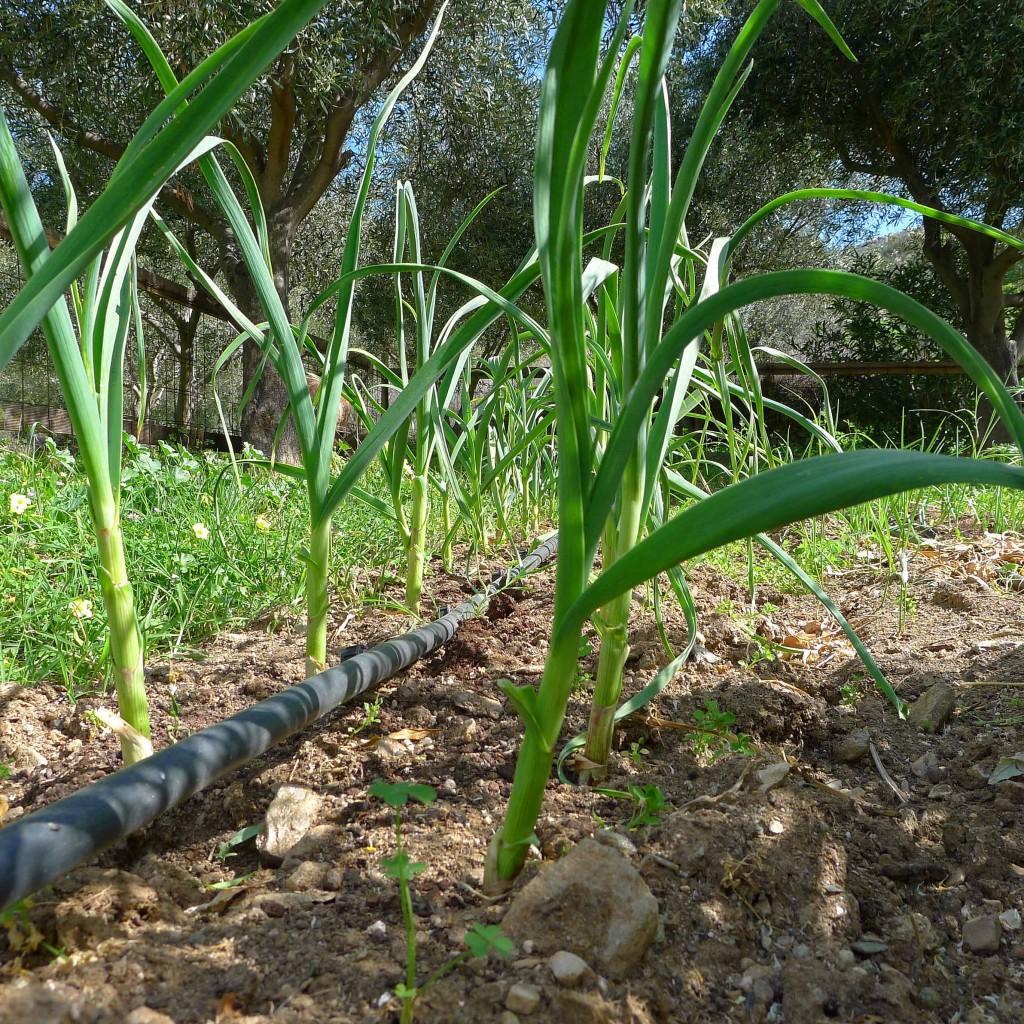 Green garlic (3) SMALL