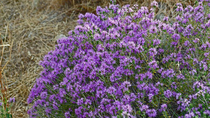 THYME-June-2-012