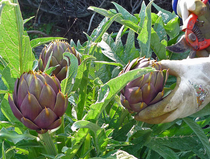 artichoke-cutting-small