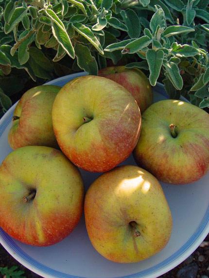 ApplesTripoli_430