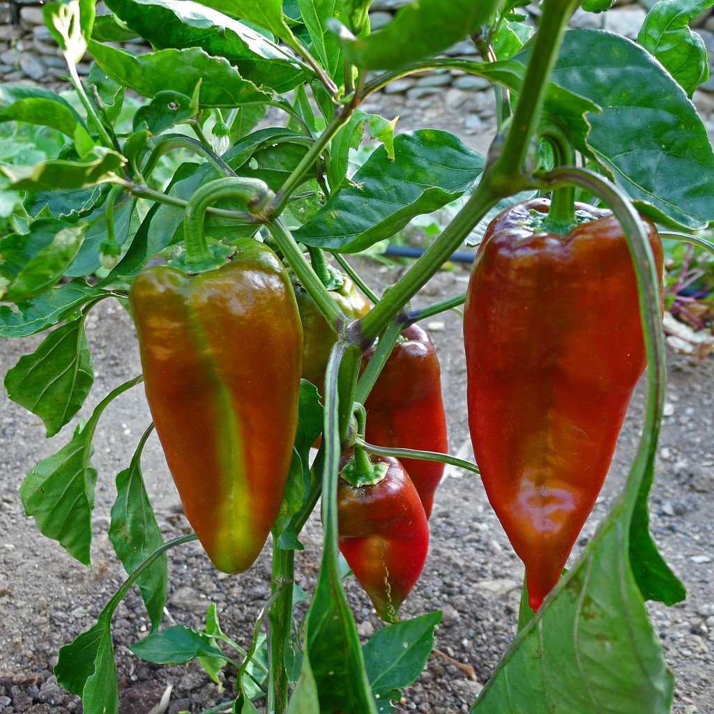 Peppers-plant1-S