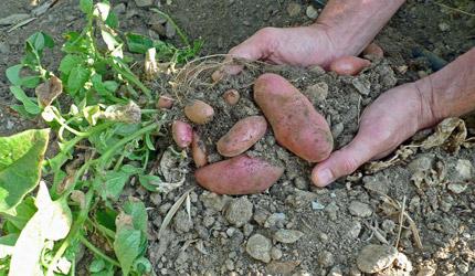 Potatoes-soil_430